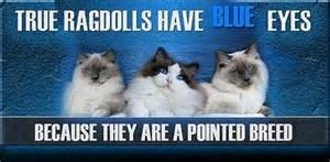 True Ragdolls have Blue Eyes